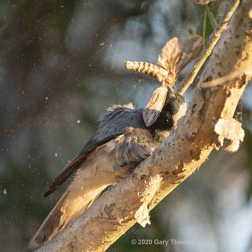 Black-faced Cuckooshrike with breakfast