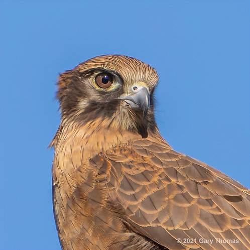 Brown Falcon (10-300)