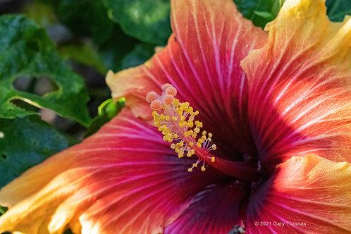 Hibiscus (26-300)