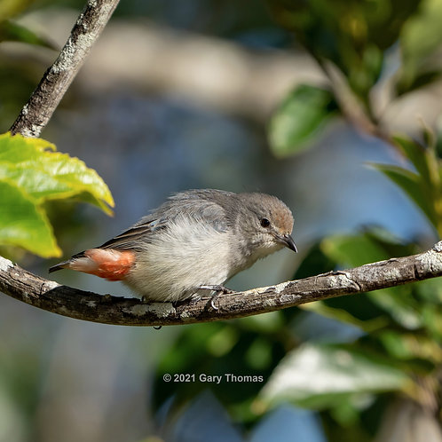 Mistletoebird (01-300)