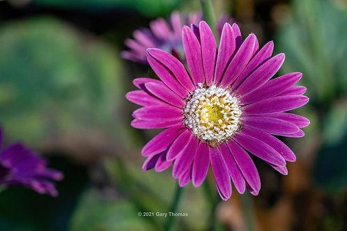 Barberton_Daisy (03-300)