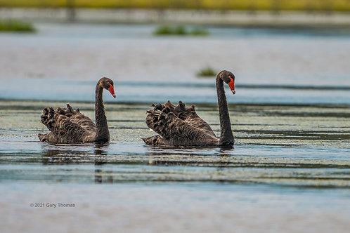 Black_Swan (13-300)