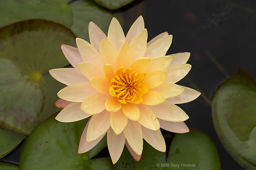 Water_Lily_08_3.jpg