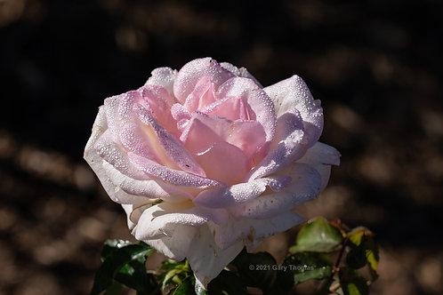 Rose (51-300)