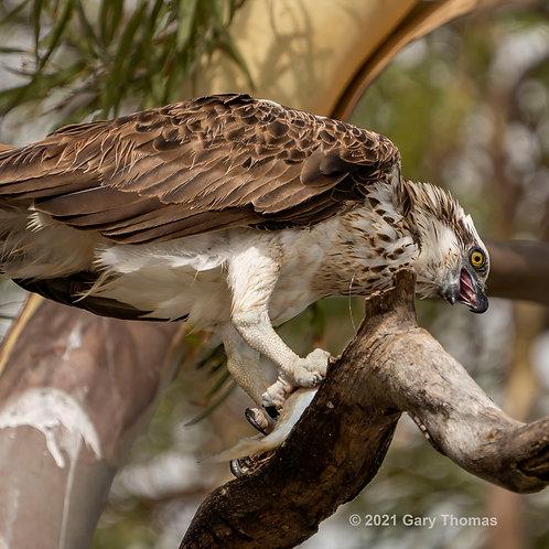 Osprey enjoying breakfast