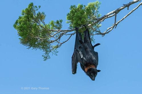Bat (02-300)