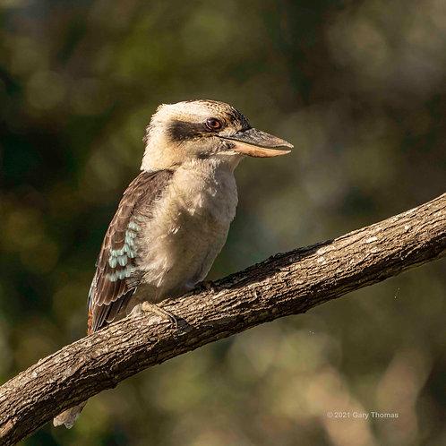 Kookaburra_50_4.jpg