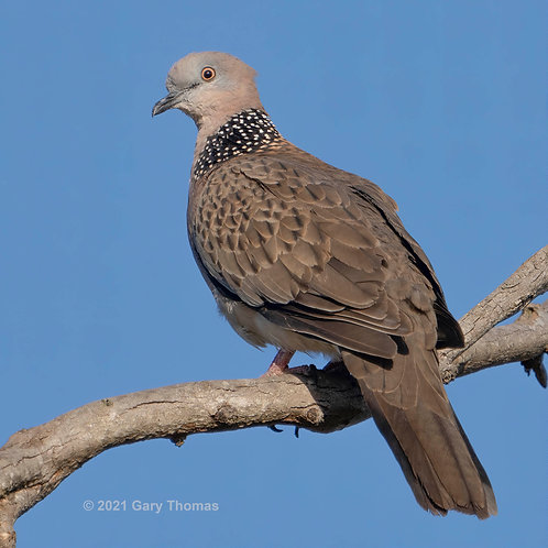 Spotted_Dove (02-300)