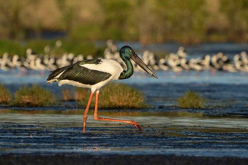 Black-necked Stork (16-300)