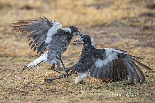 Magpie Fight (02-300)