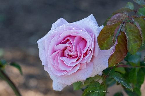 Rose (52-300)