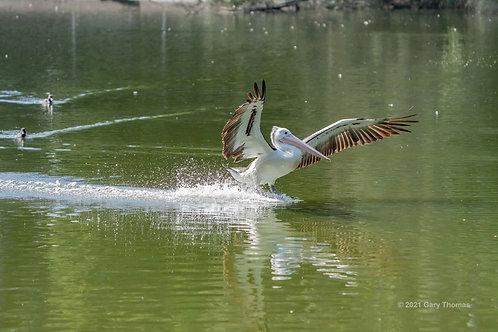Pelican (20-300)