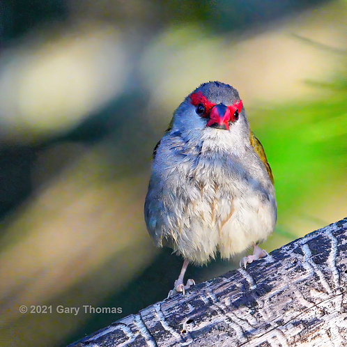 Red-browed_Firetail_05_2_A1.jpg