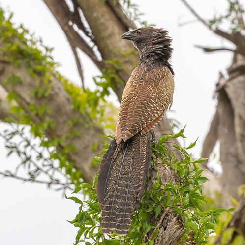 Pheasant_Coucal (02-300)