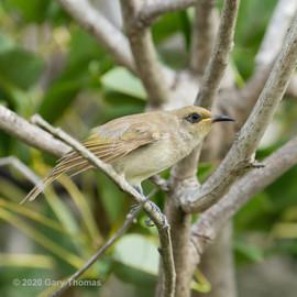 Brown_Honeyeater_07_3.jpg