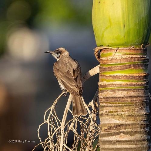 Little Friarbird (01-300)