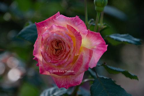China_rose_05_3