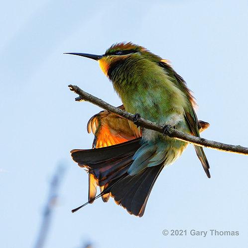 Rainbow_Bee-eater (32-300)