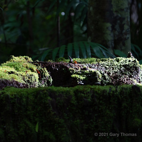 Moss covered trunk in the rainforest