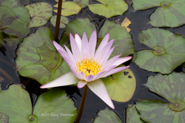 Water_Lilly_12_3.jpg