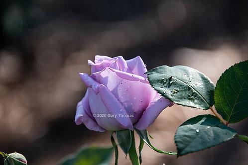 China_rose_02_3