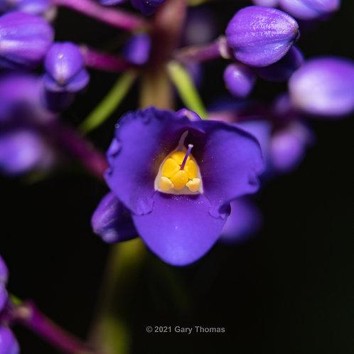 Blue Ginger flower