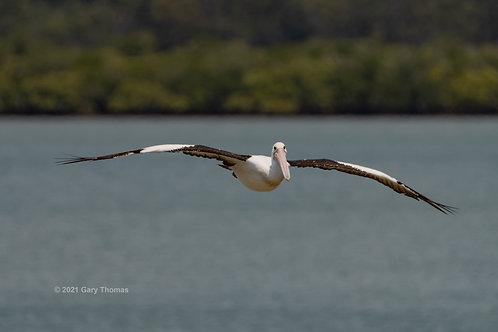 Pelican (16-300)