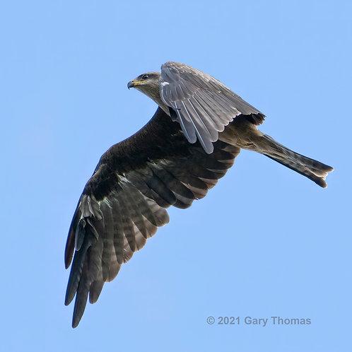 Black_Kite (07-300)
