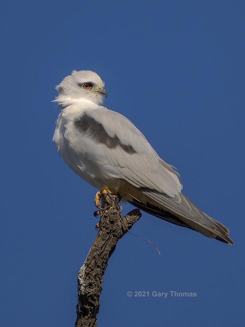 Black-shouldered Kite (02-300)