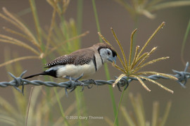 Double-barred_Finch_05_3.jpg