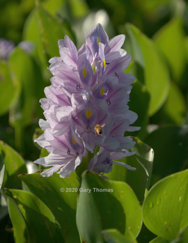 Common_Water_Hyacinth_02_3.jpg