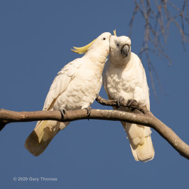 Cockatoo_29_3.jpg
