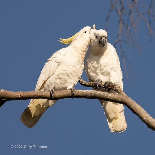 Cockatoo sweethearts