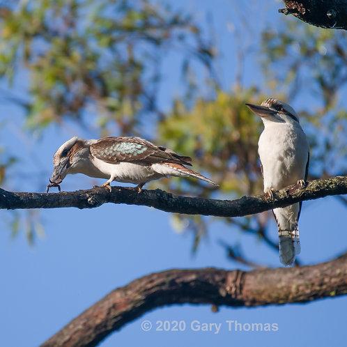 Kookaburra having breakfast