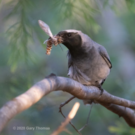 Black-faced Cuckooshrike_18_3sq.jpg