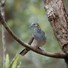 Bar-shouldered_Dove_01_3.jpg