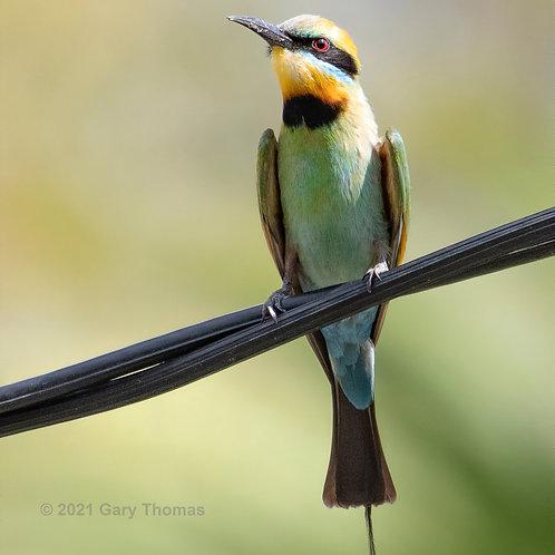 Rainbow_bee-eater (31-300)