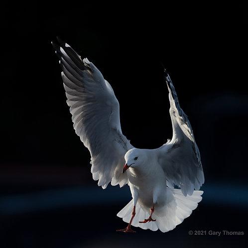 Silver Seagull