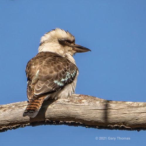 Kookaburra (62-300)