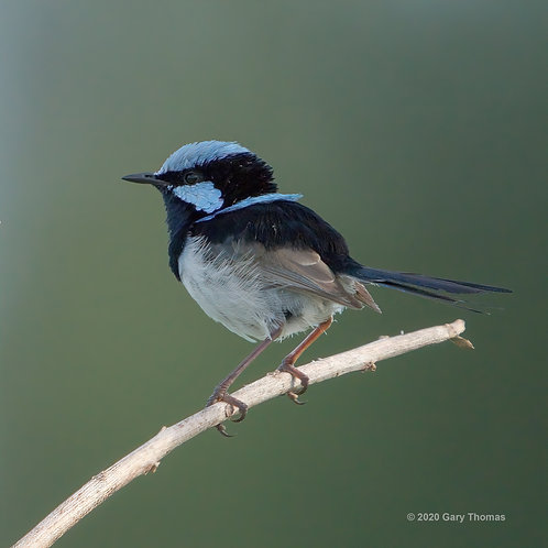 Suburb Fairywren