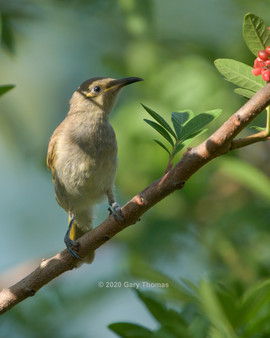 Brown_Honeyeater_08_3.jpg