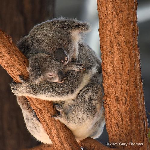 Koala (01-300)