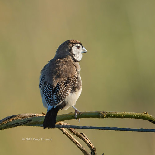 Double-barred Finch (10-300)