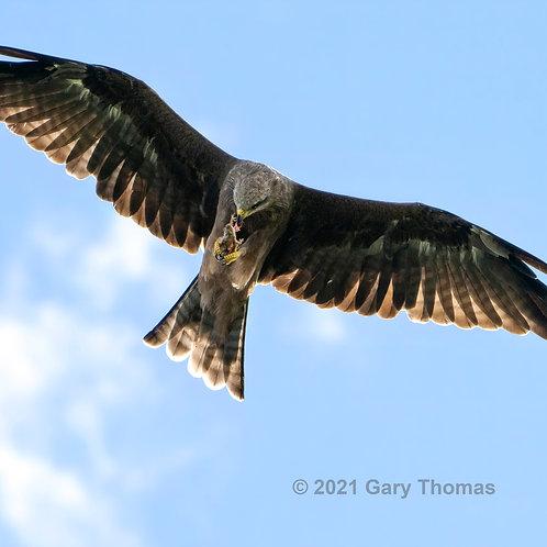 Black Kite eating mouse