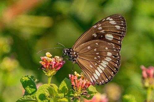 Butterfly (02-300)