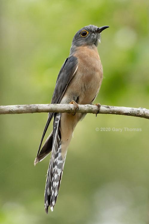 Fan-Tailed Cuckoo (01-300)