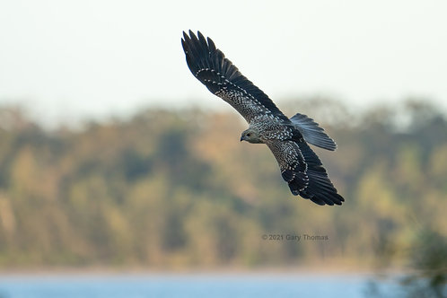 Whistling Kite (26-300)