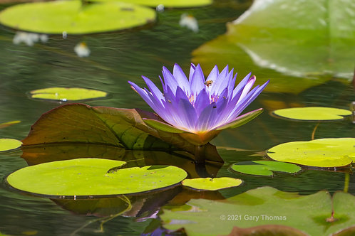 Water_lily_25_3