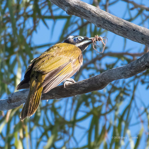 Blue-faced Honeyeater with a spider