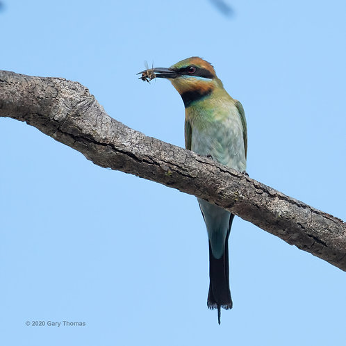 Rainbow Bee-eater with bee